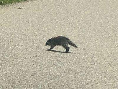 ratons.jpg